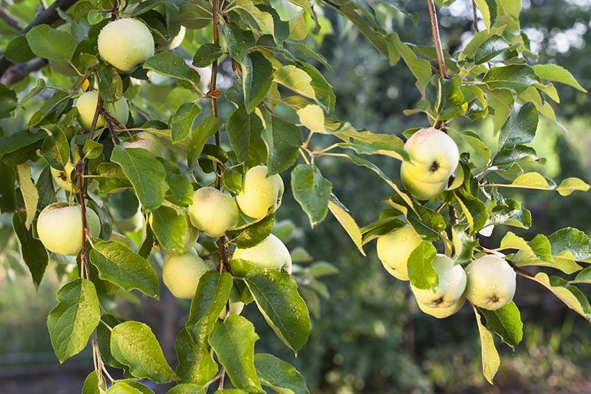 Apfelbaum mit grünen Äpfeln in Deutschland