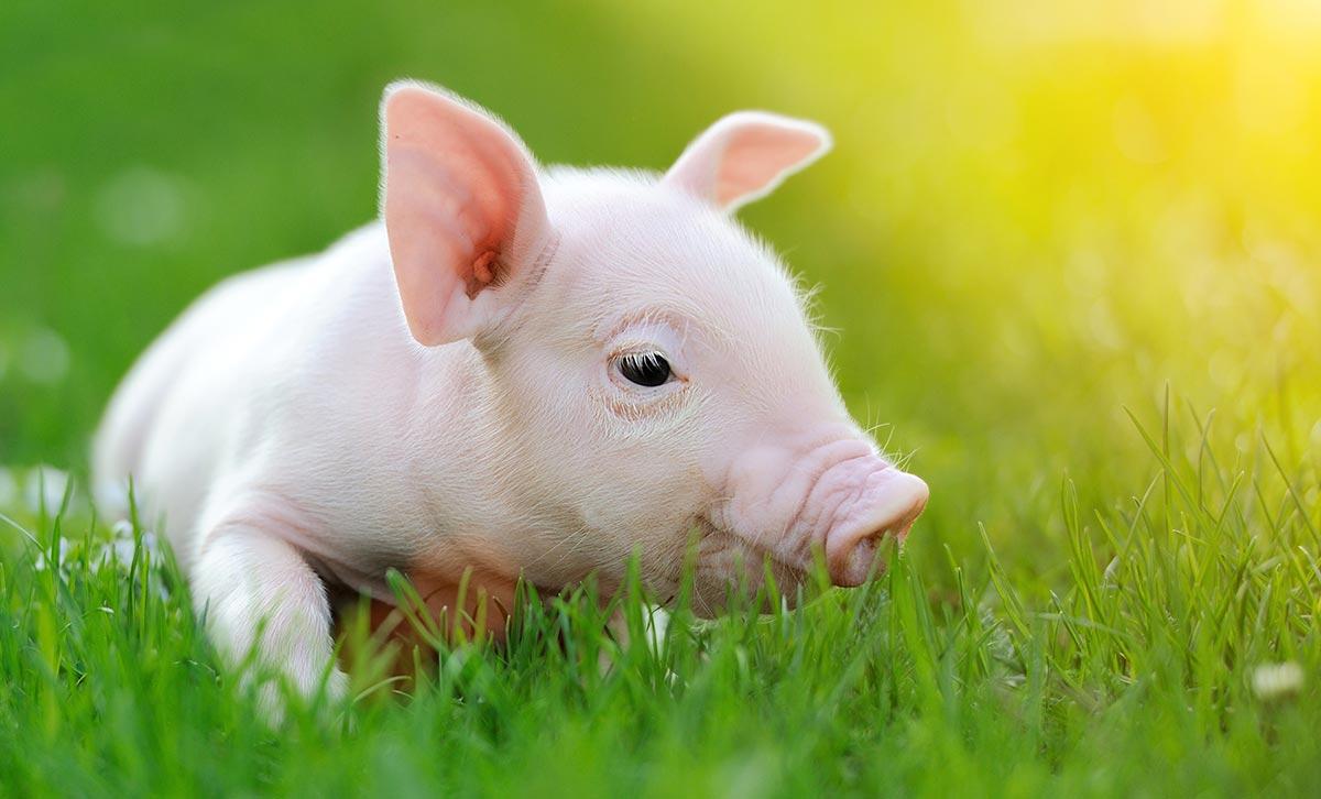 Hausschwein zum Tag des Schweins