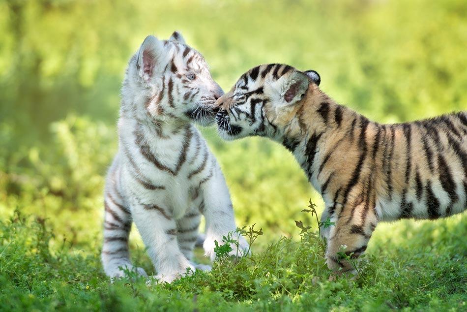 2 Baby Tiger Sprüche Suche